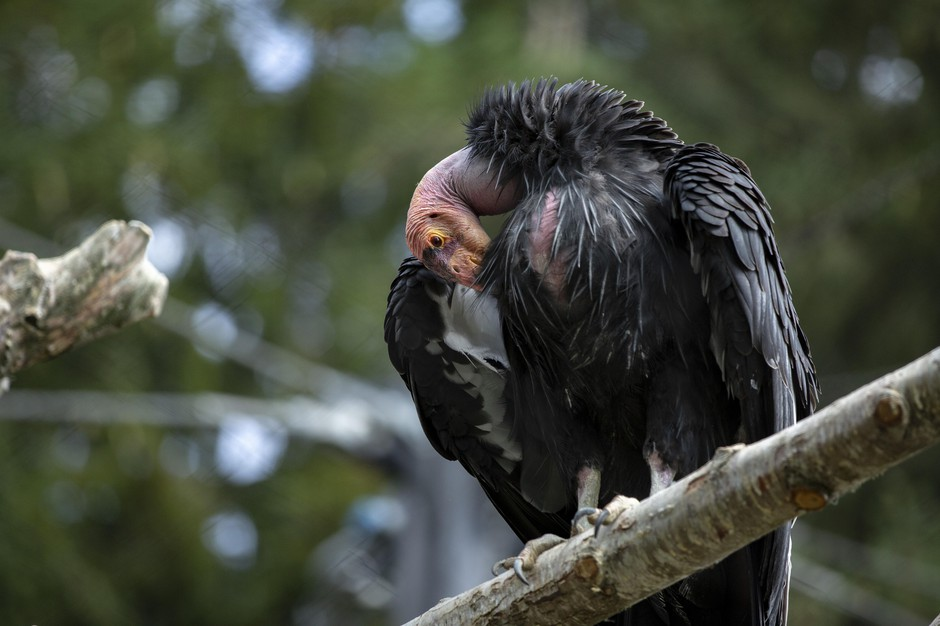 California condors have bald, fleshy heads to stay clean when they eat – usually a dead animal carcass.