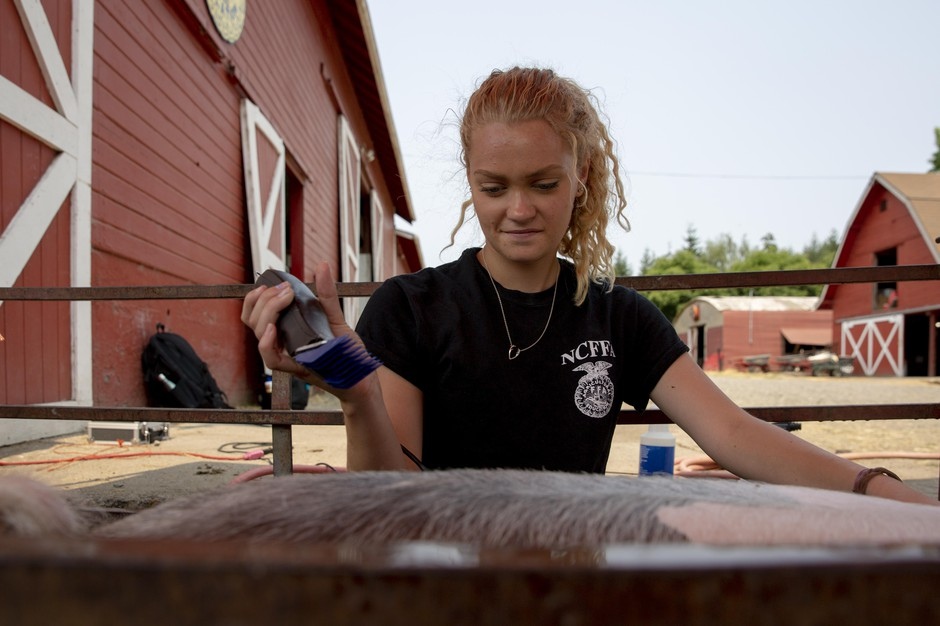 Erika Bergstrom trims her show pig Louie in preparation for the county fair.