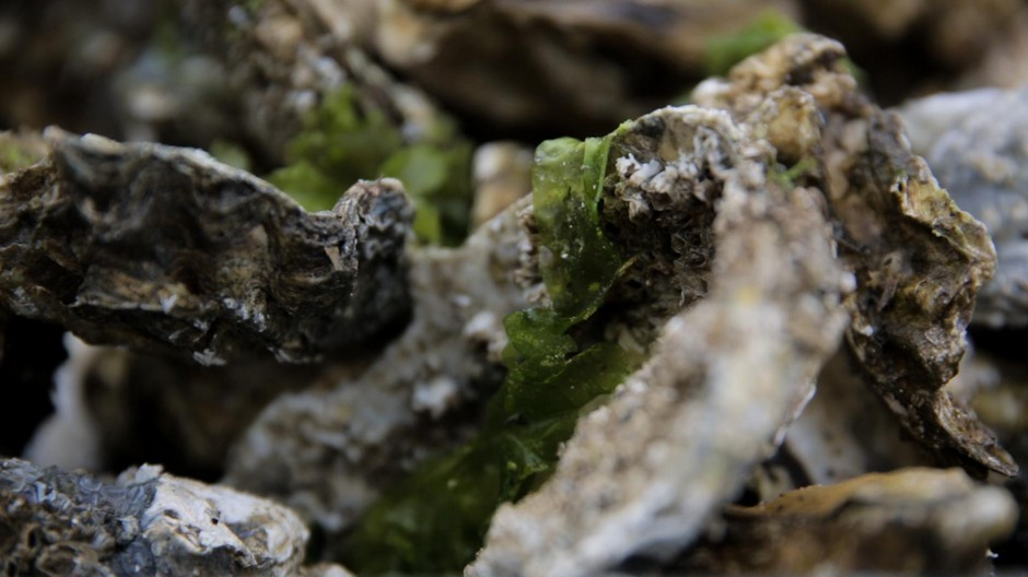 The coast around Willapa Bay supplies one-fourth of the nation's oysters.