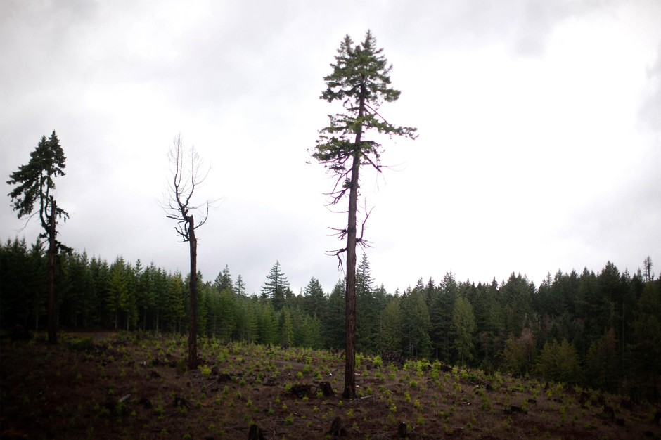 A few trees are left behind after a clear-cut in an industrial forest in Oregon's Coast Range.