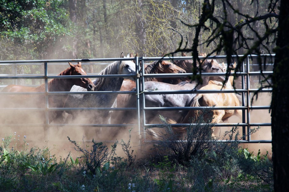 A band of free-roaming horses moments after they've been corralled by cowboys on the Warm Springs Reservation, June 22, 2019.