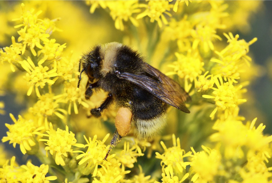 This undated photo shows a western bumblebee (Bombus occidentalis) landing on Canada goldenrod. The Pacific Northwest Bumble Bee Atlas for Idaho, Oregon and Washington aims to accumulate detailed information about bumblebees with the help of hundreds of citizen scientists spreading out across the three states.