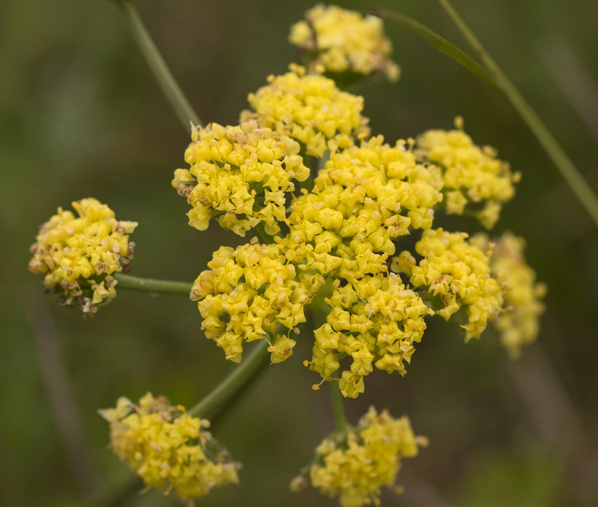 The Bradshaw's lomatium, a member of the parsley and carrot family, may be de-listed by the USFWS. It's found in just a few locations in Oregon and Washington.