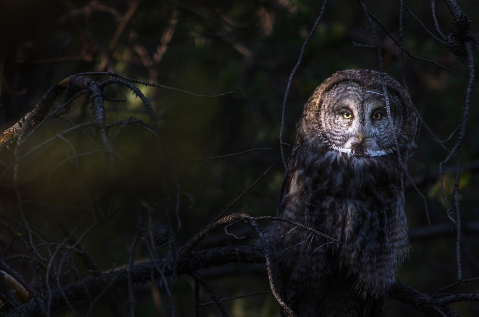 Half Mystery Half Magic In Search Of Great Grey Owls News Opb