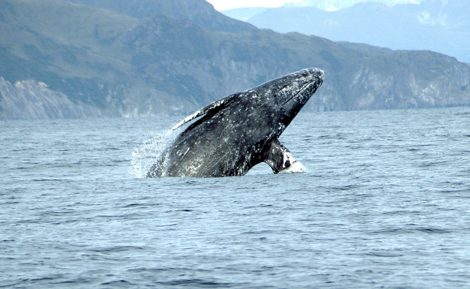 A gray whale breaching in the Pacific Ocean.