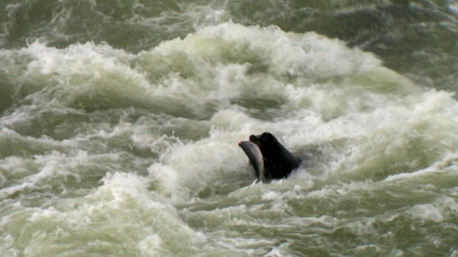 Sea lions below Willamette Falls ate a quarter of a threatened winter steelhead run in 2017. Biologists say that level of predation puts the fish at risk of extinction.