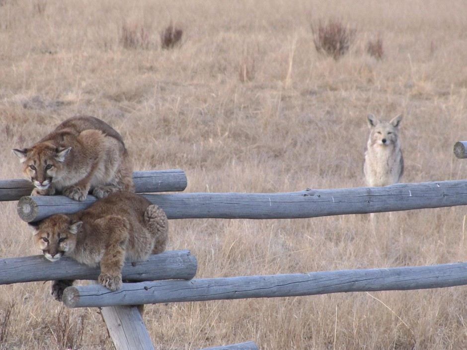 Two juvenile cougars hide on a fence to avoid territorial coyotes in Wyoming. Cougar kittens rarely survive to adulthood.