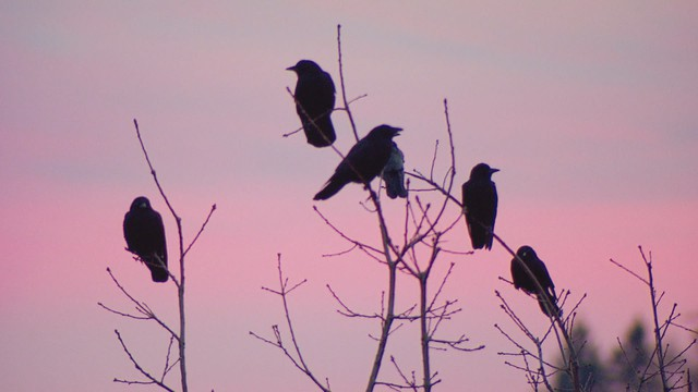 Crows gather at sunset